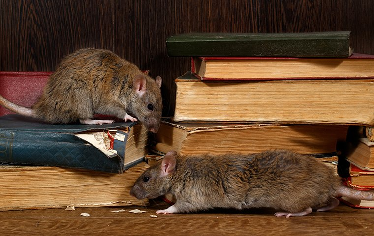 rats crawling and chewing on books in a home