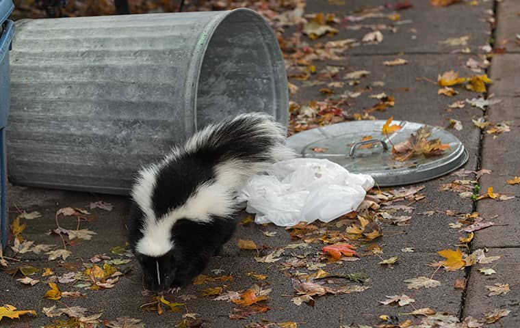 skunk in trash