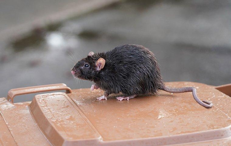a rat on a trash can