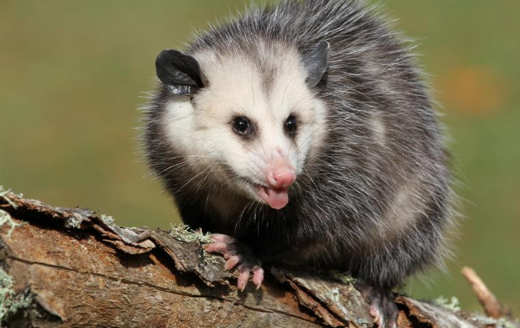 opossum on a branch