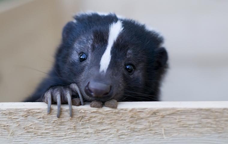 skunk resting head on wood