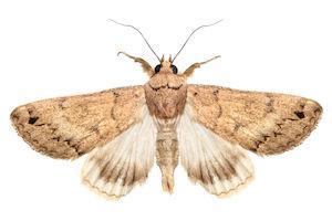 moths in diet pill