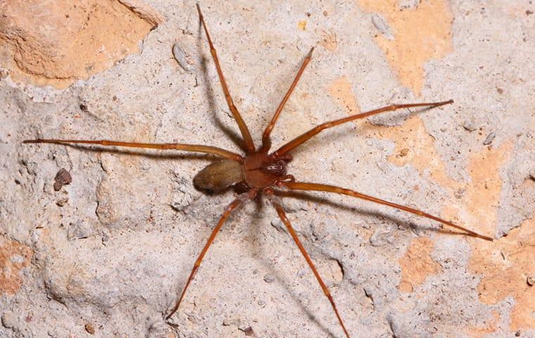 brown recluse on wall in hendersonville home