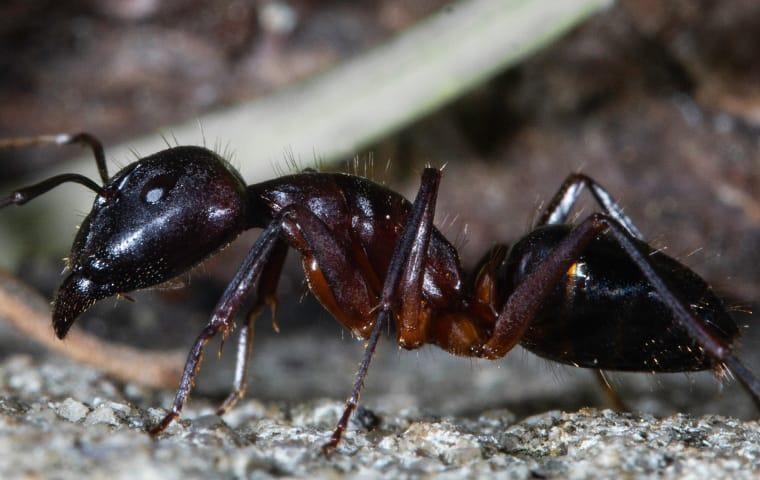 carpenter ant on the ground