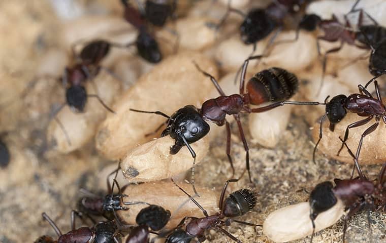 carpenter ants and carpenter ant eggs