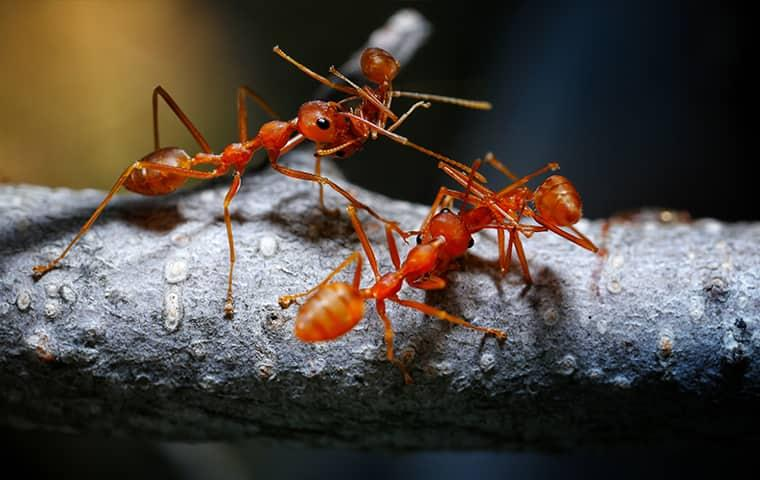fire ants on a branch