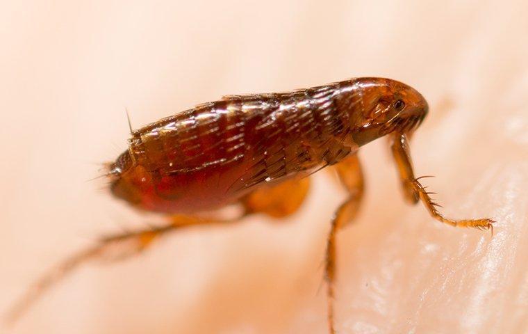 flea biting