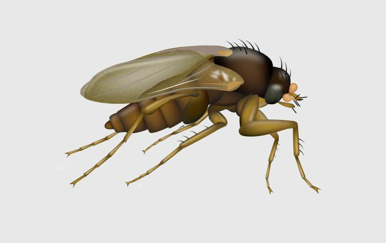 phorid fly on gray background