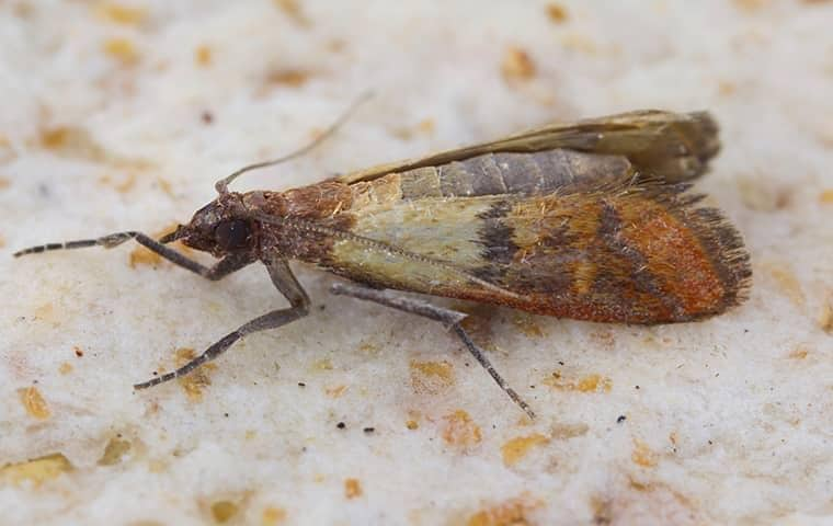 indian meal moth on a piece of bread