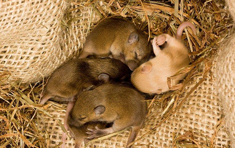 four baby mice