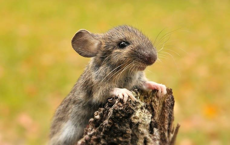 mouse on tree stump