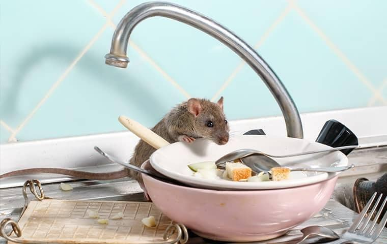 full grown grey mouse eating food off the dishes on a tennessee kitchen sink