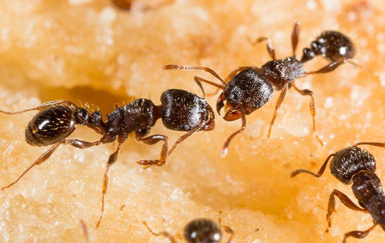pavement ants eating an apple