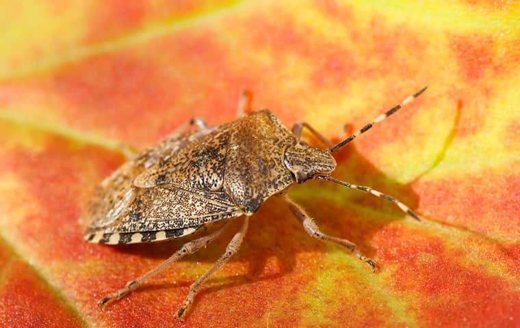 stink bug on fall leaf