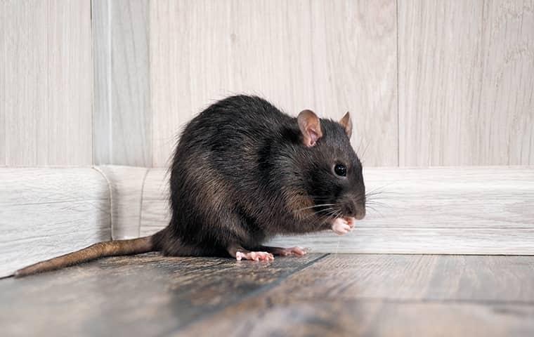 rat on a floor
