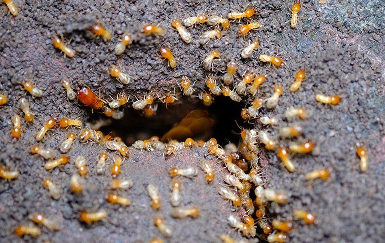 termites in the ground