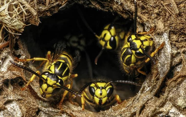 yellow jackets in a nest