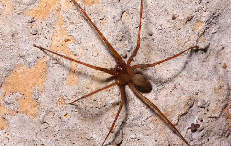 a brown recluse infestation on the outside of a tennessee home