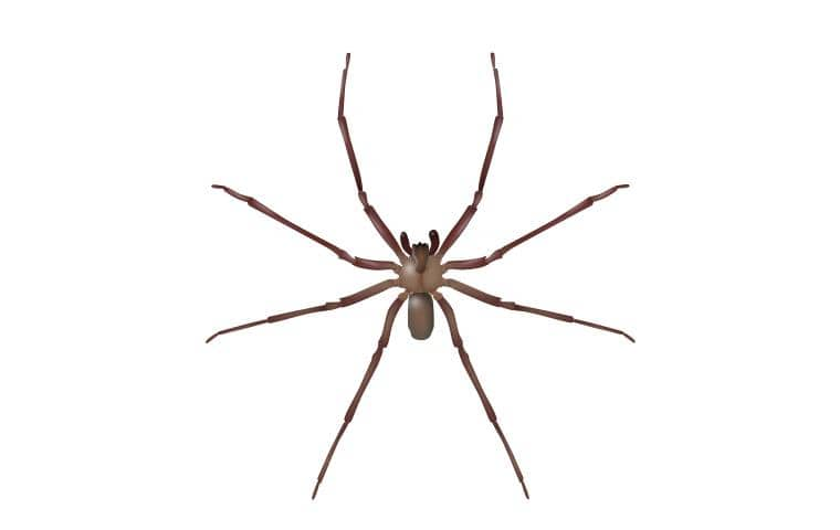 illustration of brown recluse spider