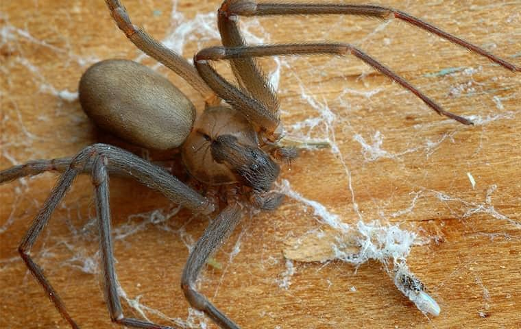 a brown recluse spider invading a tennessee home