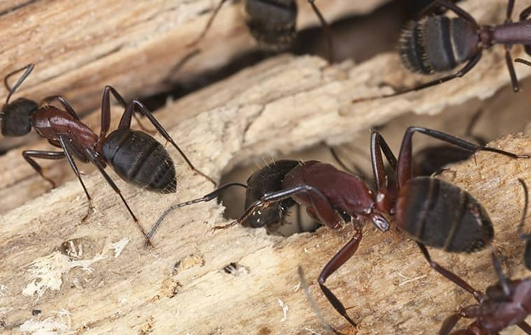 carpenter ants on wood outside of a middle tennessee home
