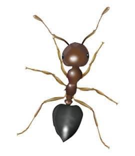 illustration of an acrobat ant