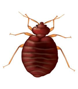 bed bugs in franklin tennessee
