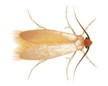 clothes moth illustration