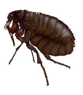 fleas in middle tennessee