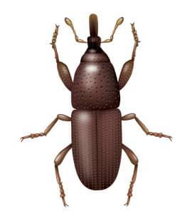 illustration of a granary weevil