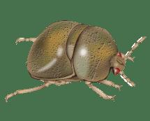 green kudzu bug