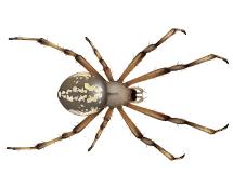 orb spiders illustration