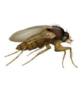 phorid fly illustration