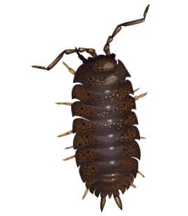 detailed illustration of sow bug