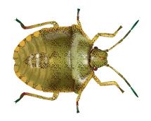 stink bug illustration