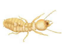 illustration of a termite