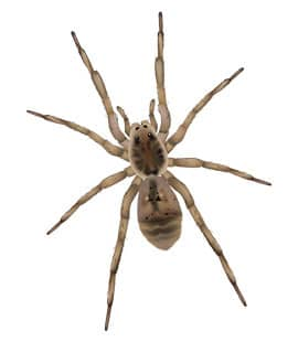 wolf spiders in franklin tennessee
