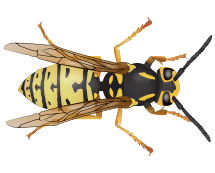 yellow jacket illustration