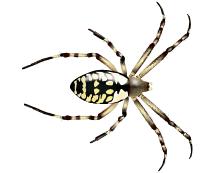 zipper spider illustration