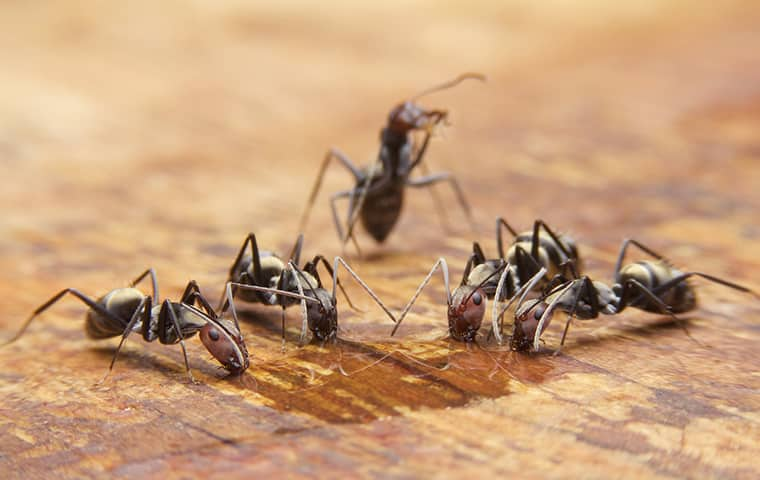 carpenter ants crawling on a table in a seaford virginia home