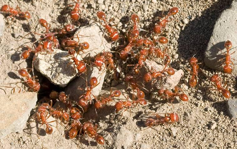 a large colony of black ants clustered around  the opening of an ant hill on an outer banks property