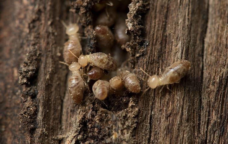 a termite infestation inside of a home in rodanthe north carolina