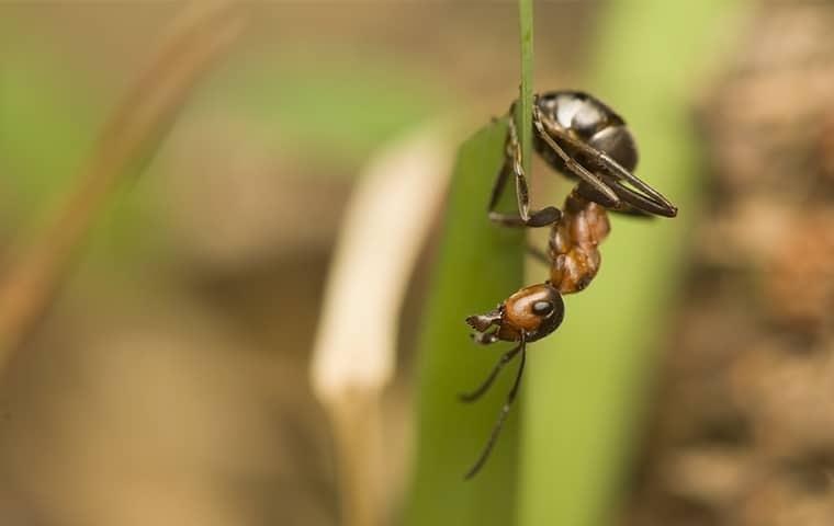 an acrobat ant outside in nags head north carolina