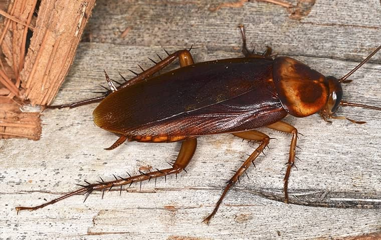 an american cockroach crawling on wood in avon north carolina