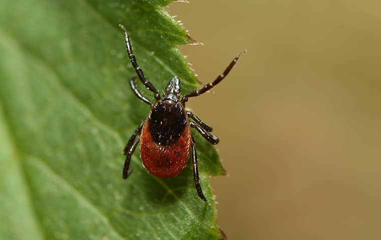 a deer tick crawling on a leaf in rodanthe north carolina
