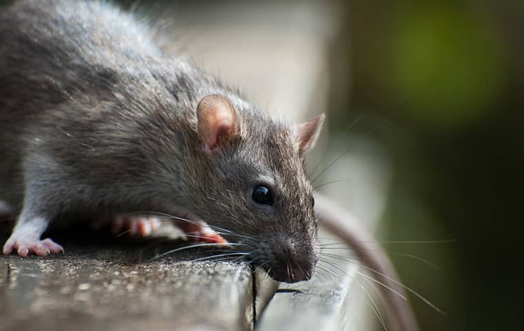 a rat peering over a ledge inside of a home in frisco north carolina