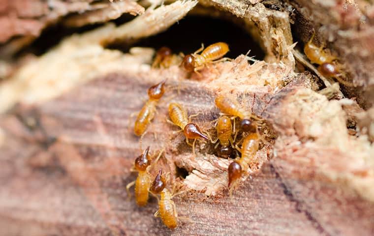 a termite infestation in norfolk virginia