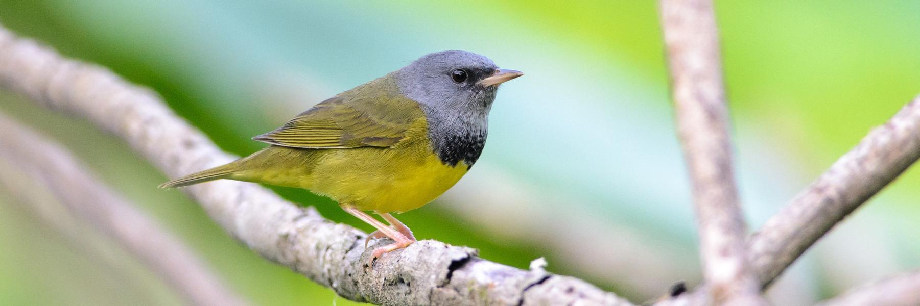 Rangeley Birding Festival