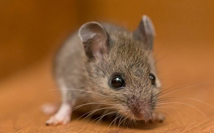 house mouse on wood