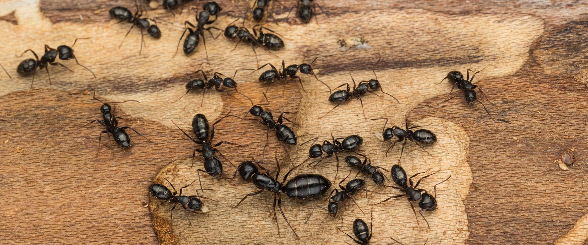 ants on wood in fayetteville georgia